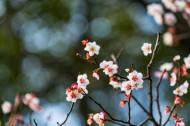 热闹开放的梅花图片(12张)