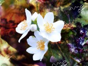 洁白无瑕的茉莉花图片(15张)