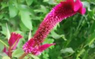 鸡冠花花卉图片(11张)