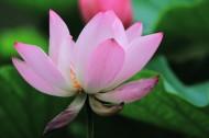 粉色荷花图片(10张)