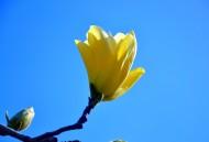 黄色玉兰花图片(8张)