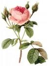 手绘玫瑰图片(22张)