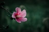 调色木槿花图片(10张)