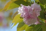 樱花图片(12张)