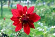 红色娇艳大丽花花卉图片(14张)