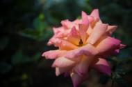 各种颜色的月季花图片(12张)