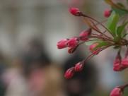 海棠花卉图片(5张)