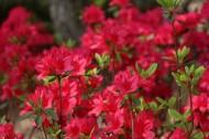 盛开的红色杜鹃花图片(11张)