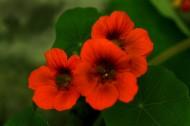 旱金莲花卉图片(11张)