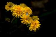 黄色的万寿菊图片(9张)