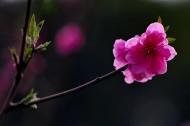 桃花图片(6张)