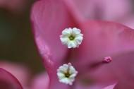 三角梅的花蕊图片(8张)