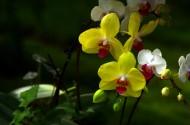 各种蝴蝶兰图片(15张)