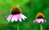 松果菊图片(7张)