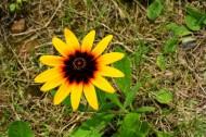 黄色金光菊花卉图片(10张)