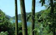 清脆的竹子图片(10张)