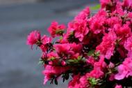 杜鹃花图片(9张)