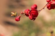 红色的海棠花图片(8张)