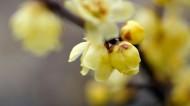 黄色腊梅图片(5张)