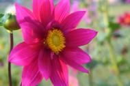 盛开的紫色大丽花图片(14张)