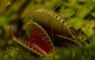 捕蝇草图片(7张)