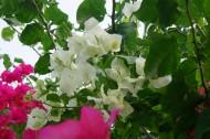 白色三角梅花卉图片(12张)