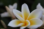美丽的素馨花图片(15张)