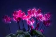 如梦如幻仙客来花卉图片(12张)
