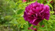 兰州紫斑牡丹图片(24张)