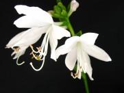 洁白的玉簪花图片(10张)
