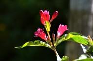 红王子锦带花图片(8张)