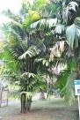 三药槟榔植物图片(2张)