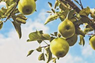 苹果树上的苹果图片(10张)