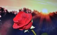 红色的玫瑰图片(16张)