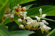 白蝴蝶合果芋图片(7张)