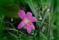 紫红色韭菜兰图片(15张)
