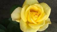 美丽的黄玫瑰图片(10张)