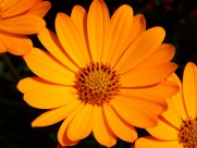 富含多种维生素的金盏花图片(14张)