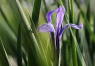 神秘的马兰花卉图片(5张)