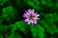 紫色苜蓿花图片(6张)