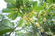 香甜的金色桂花图片(13张)