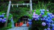 紫阳花图片(8张)