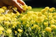 花田里的油菜花图片(12张)