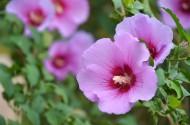 粉色木槿花图片(13张)