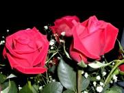 蔷薇图片(20张)