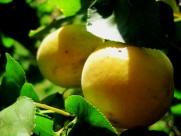 挂满果实的杏树图片(10张)