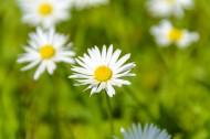 绽放的雏菊图片(10张)