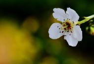 如雪的梨花图片(9张)