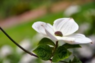 白色茱萸图片(12张)