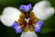 巴西鸢尾图片(8张)